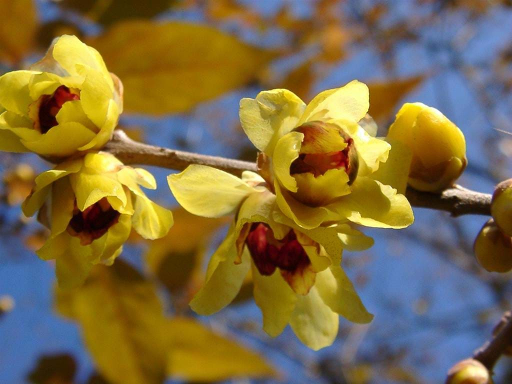 CHIMONANTHUS  (CALYCANTHACEAE)