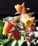 ECHEVERIA GLAUCA MAJOR (CRASSULACEAE)